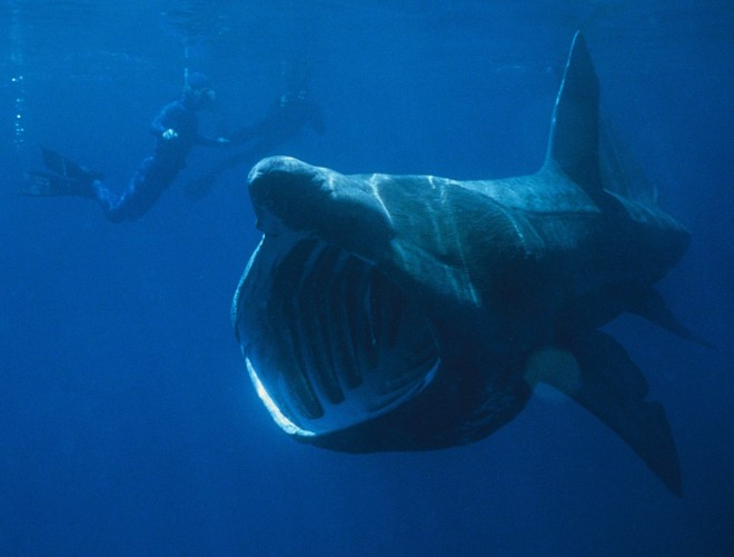 Basking-shark-660x501-custom