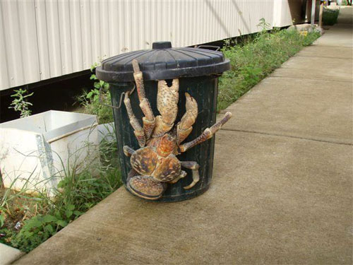 Giant_coconut_crab_08