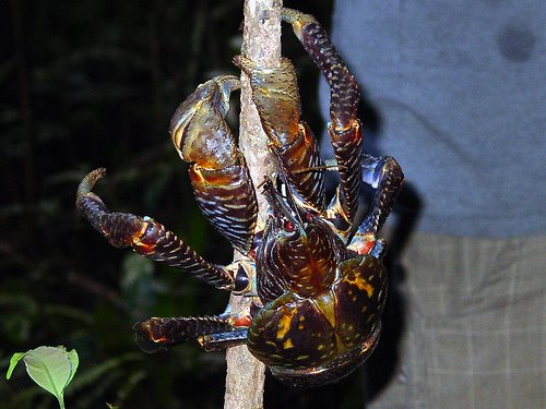 Giant_coconut_crab_01